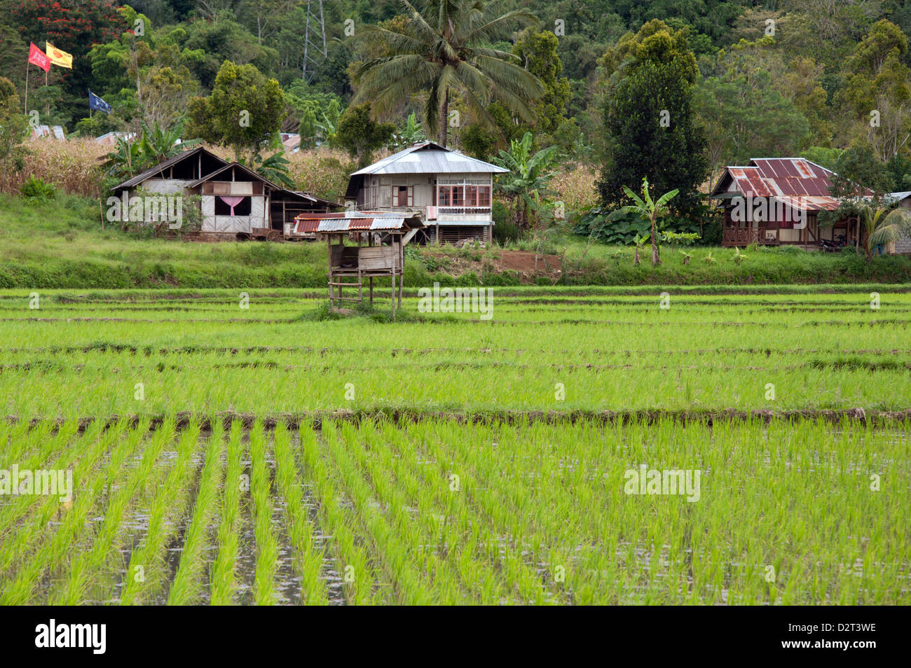 Rice paddy field, Sulawesi, Indonesia, Southeast Asia, Asia - Stock Image