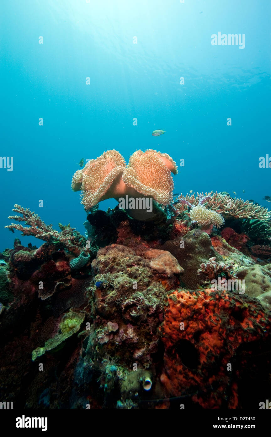 Reef scene with soft coral, Komodo, Indonesia, Southeast Asia, Asia - Stock Image