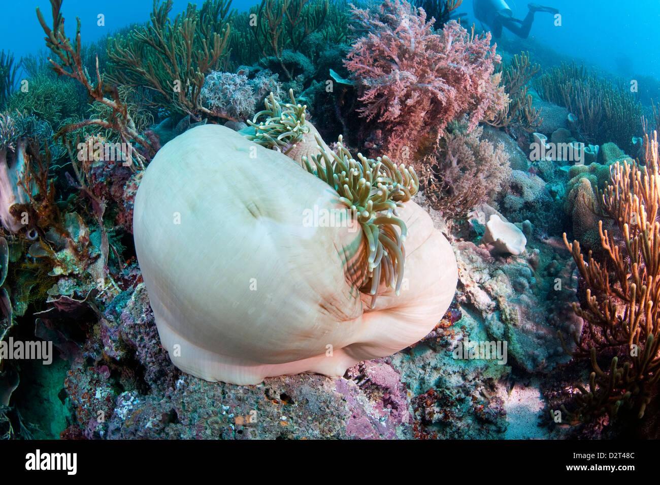 White anemone mantle, Komodo, Indonesia, Southeast Asia, Asia - Stock Image