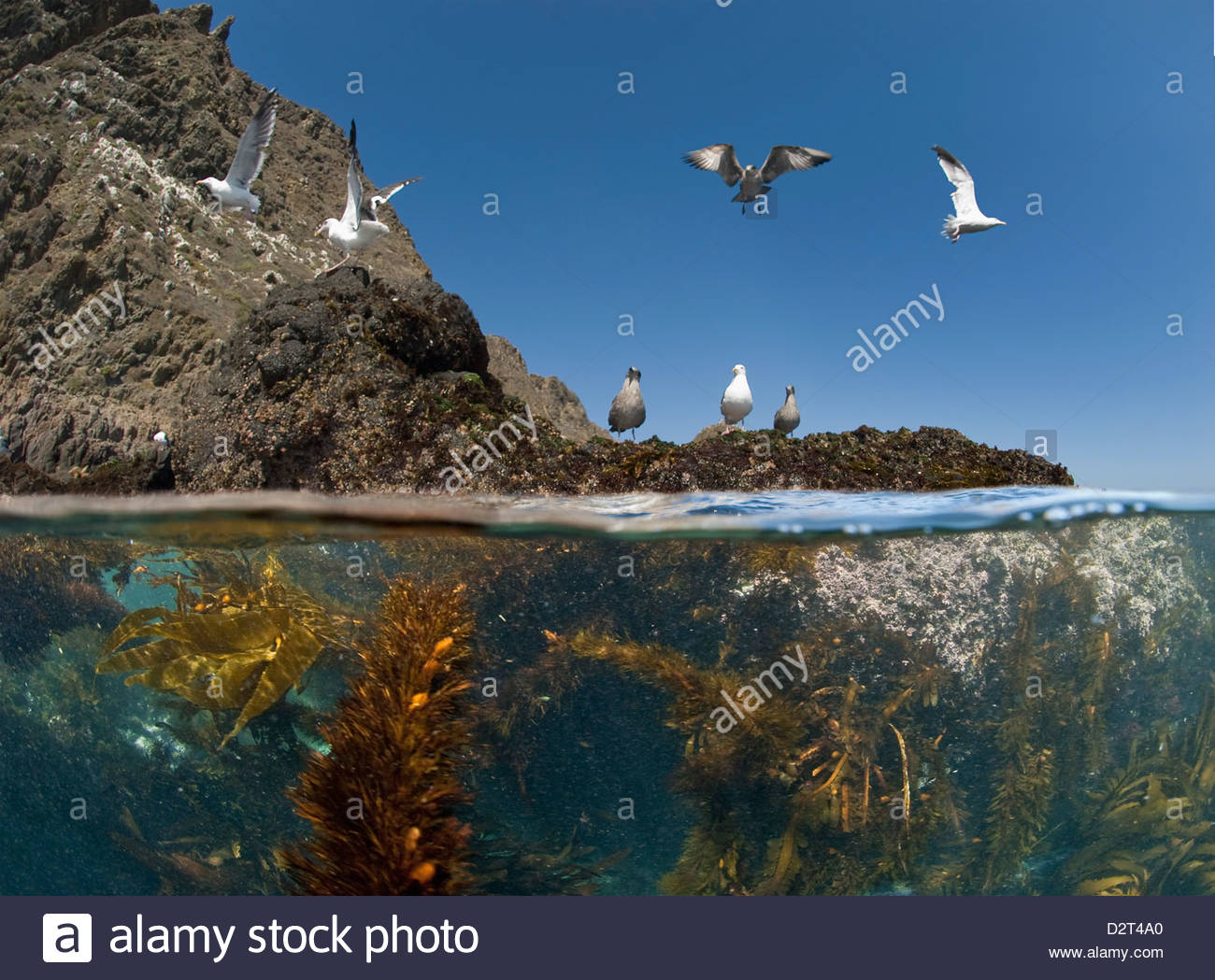 Underwater photo of Anacapa arch, kelp and birds, Channel Islands National Park, California, USA Stock Photo