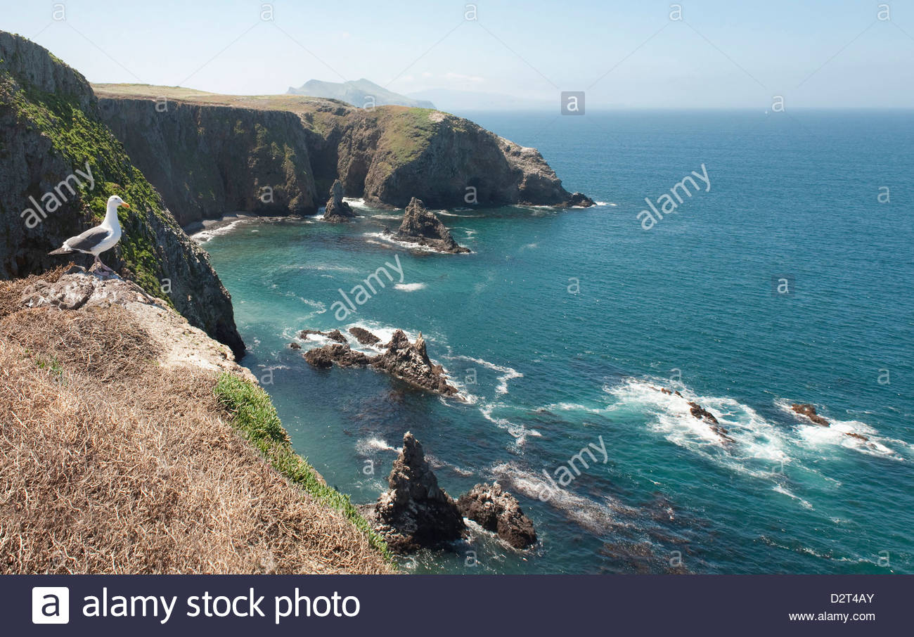 Gull looking over the ocean, Anacapa, Channel Islands National Park, California, United States of America, North - Stock Image