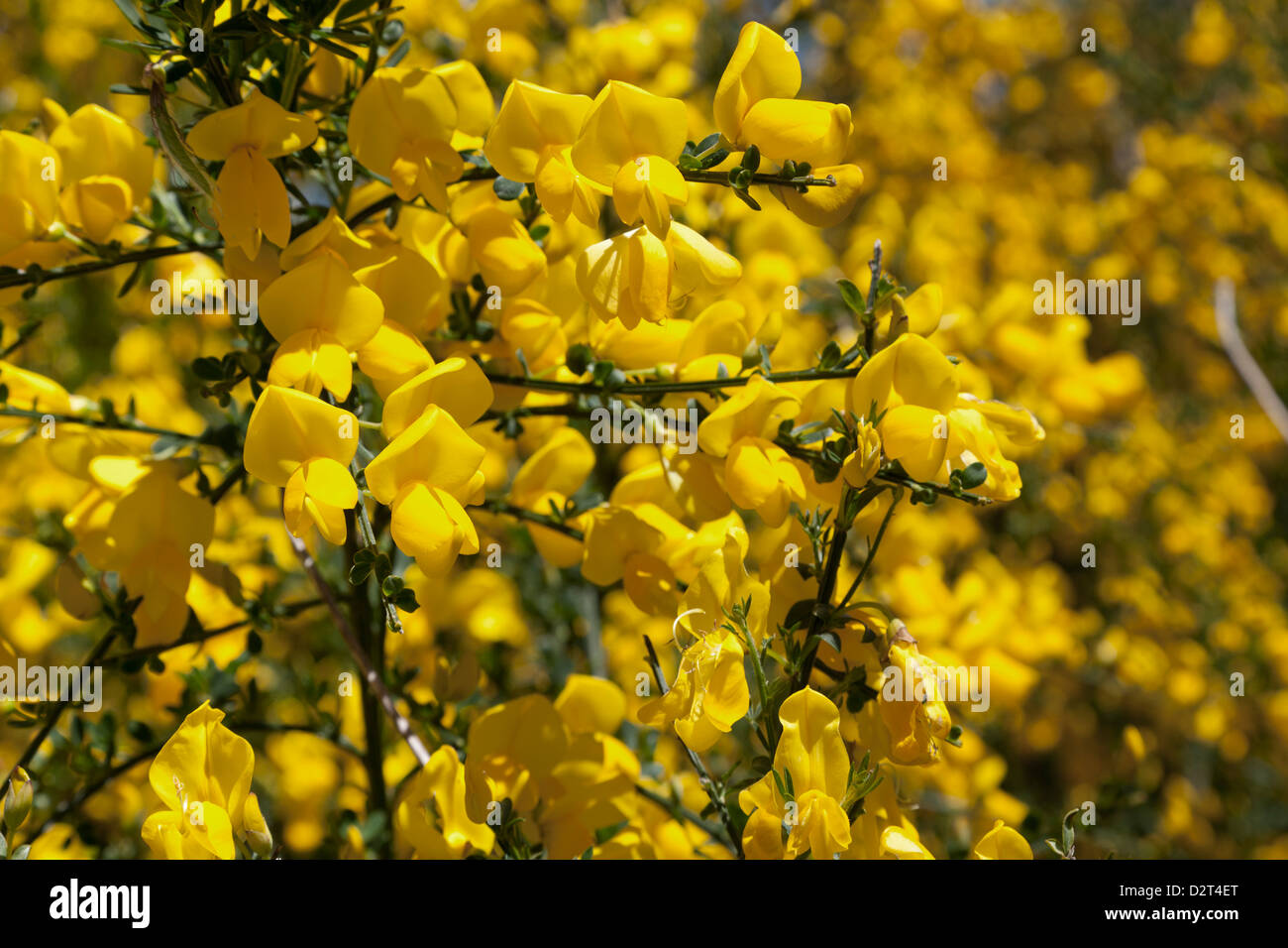 Yellow broom flowers close up stock photo 53390816 alamy yellow broom flowers close up mightylinksfo