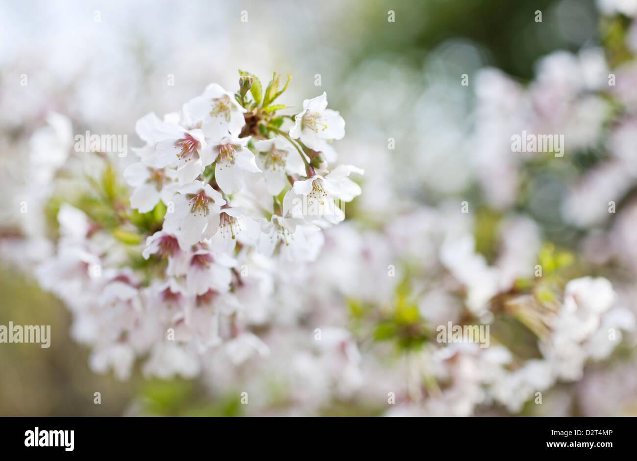 Prunus incisa 'Kojo-no-mai' - Fuji Cherry Flowers - Stock Image