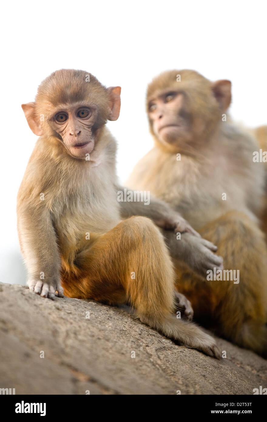 Monkeys at Pashupatinath Temple, Kathmandu, Nepal, Asia - Stock Image