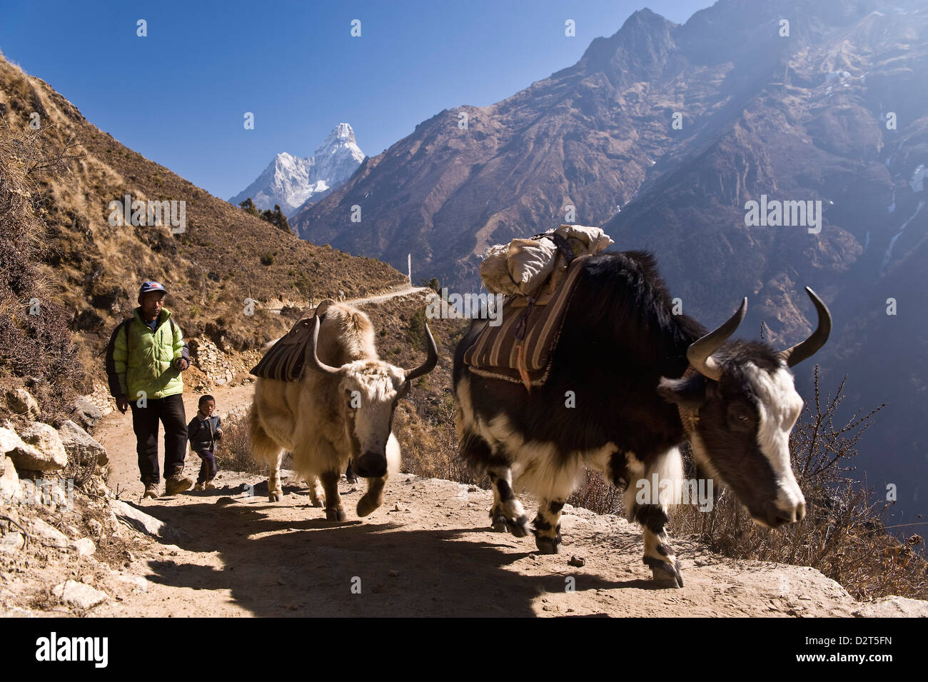Yaks on trail, Khumbu (Everest) Region, Nepal, Himalayas, Asia - Stock Image