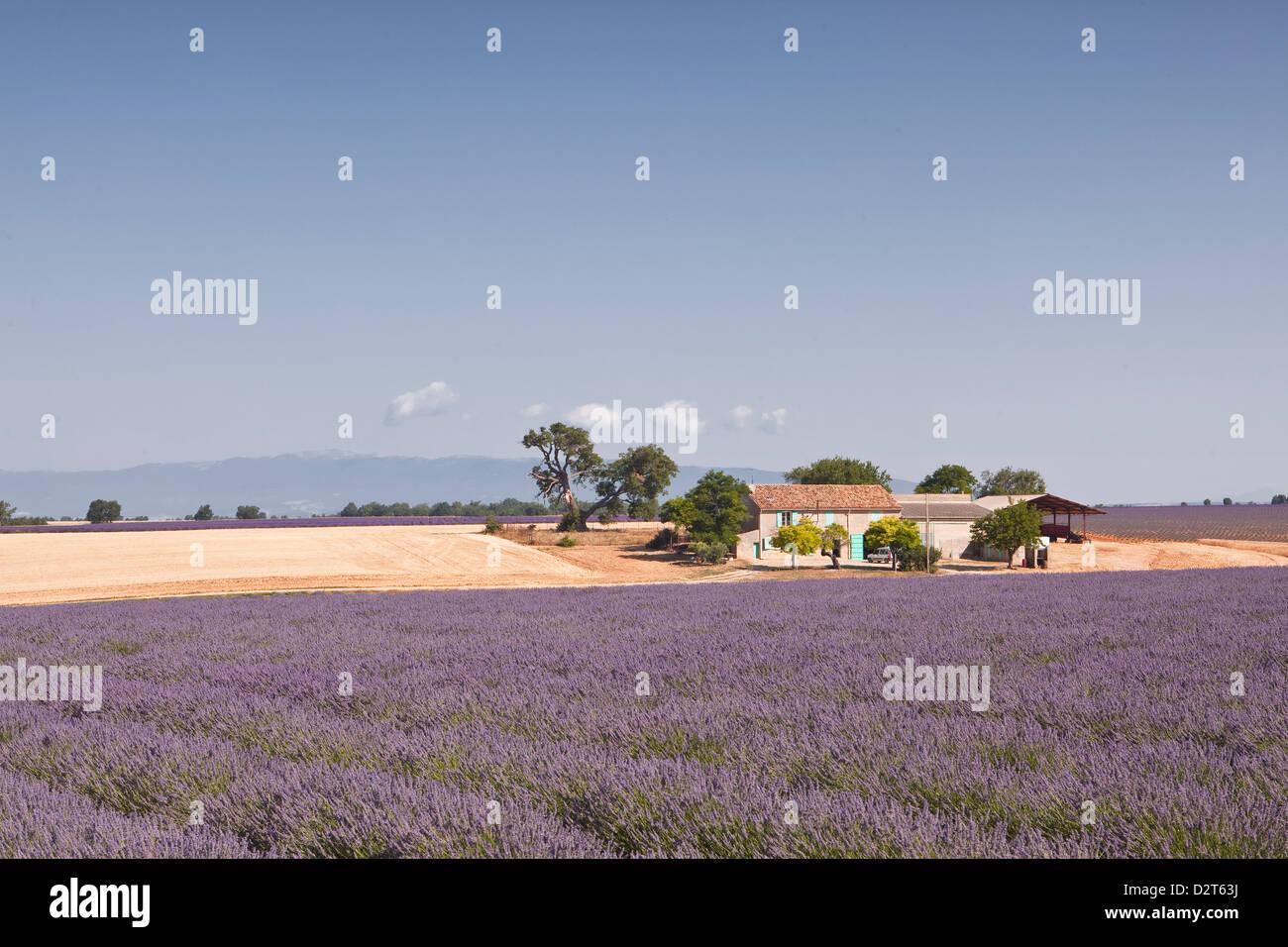 A house amongst lavender fields on the Plateau de Valensole, Alpes de Haute-Provence, Provence, France, Europe - Stock Image