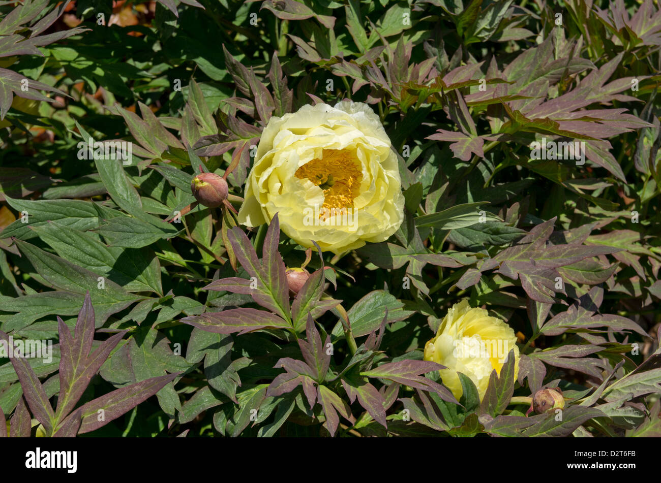 chinese tree peony high noon D2T6FB