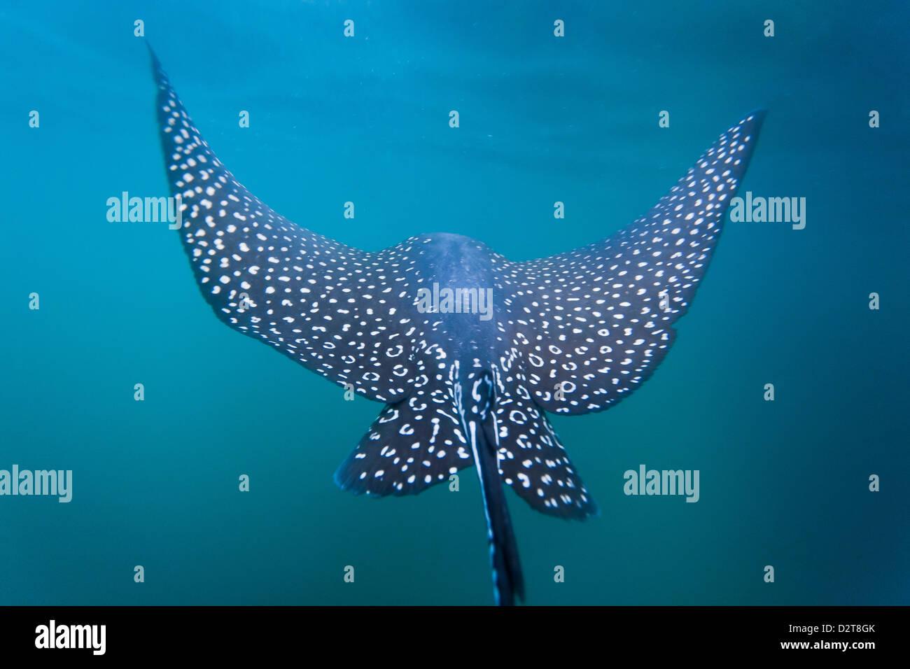 Spotted eagle ray (Aetobatus narinari) underwater, Leon Dormido Island, San Cristobal Island, Galapagos Islands, - Stock Image