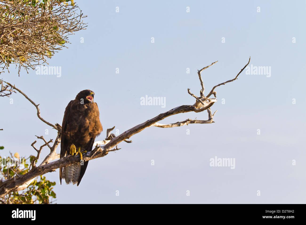 Galapagos hawk (Buteo galapagoensis), Espanola Island, Galapagos Islands, Ecuador, South America - Stock Image