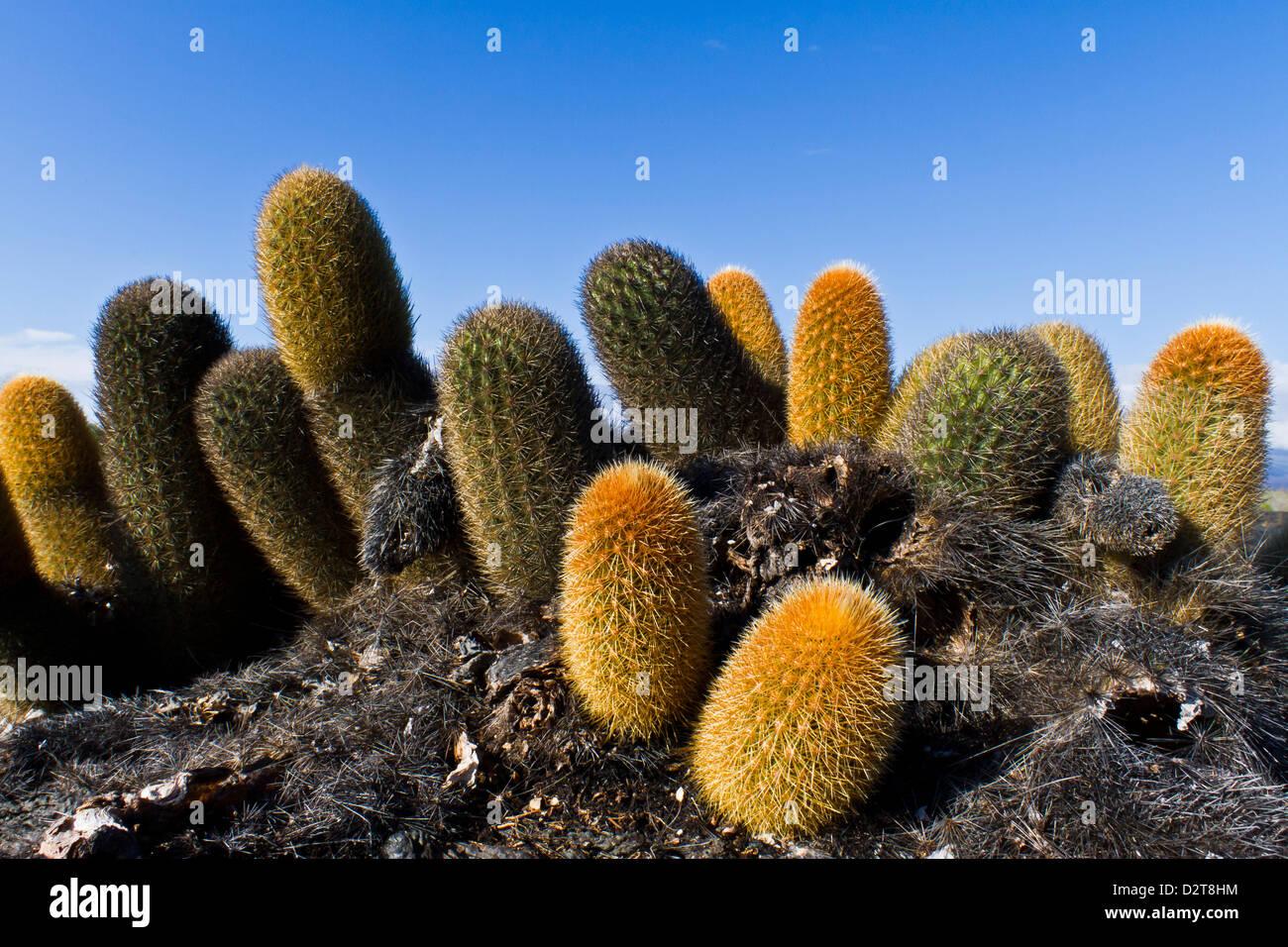 Endemic lava cactus (Brachycereus spp,), Fernandina Island, Galapagos Islands, Ecuador - Stock Image