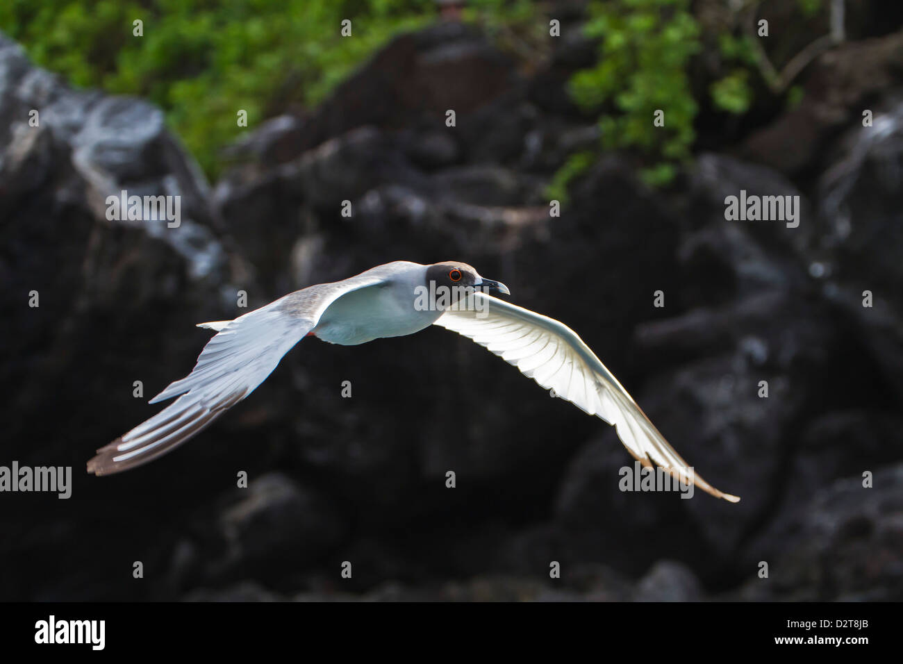 Adult swallow-tailed gull (Creagrus furcatus), Genovesa Island, Galapagos Islands, Ecuador, South America - Stock Image