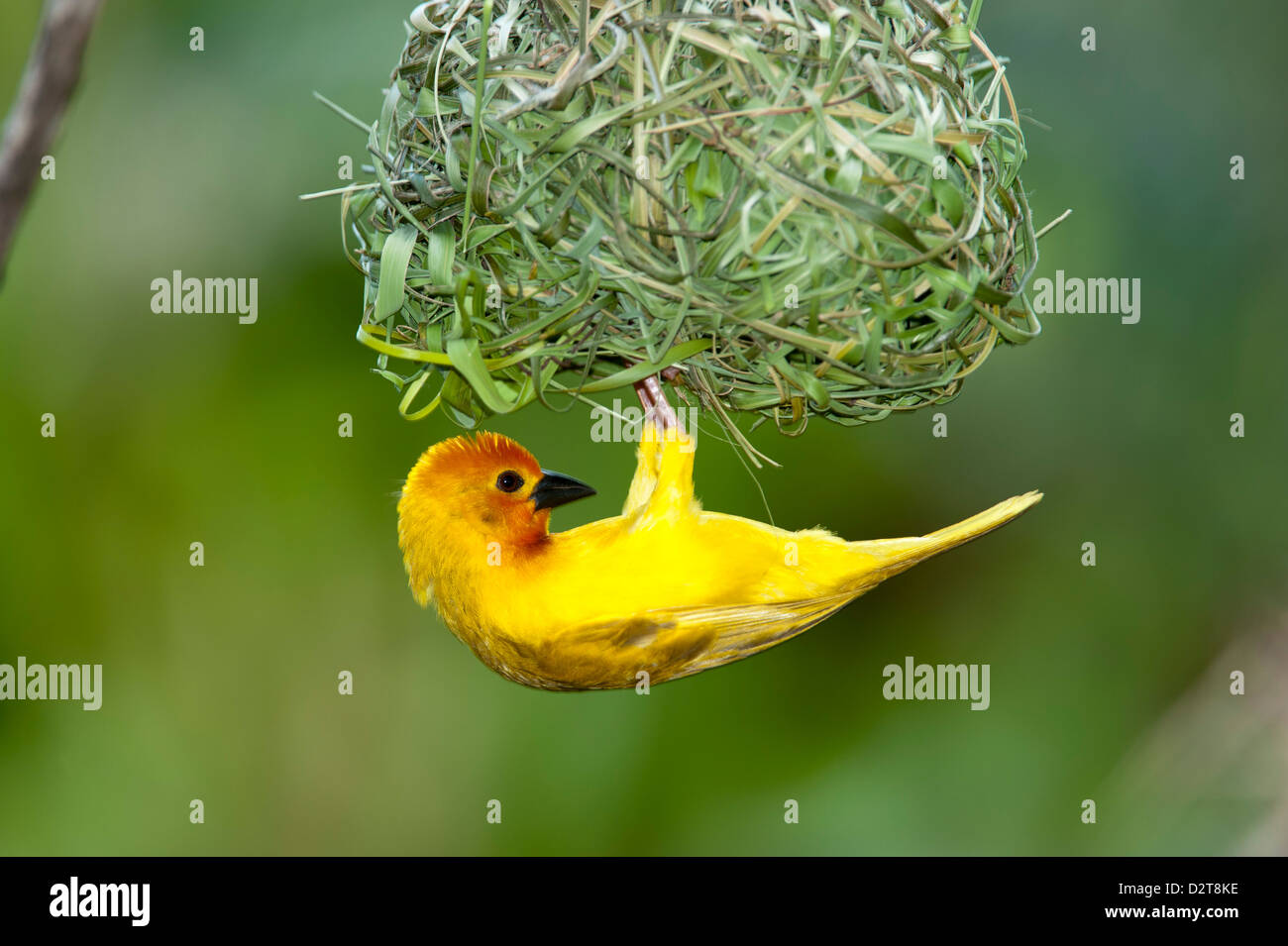 Golden palm weaver, Ploceus bojeri, Diani Beach, Kenya - Stock Image