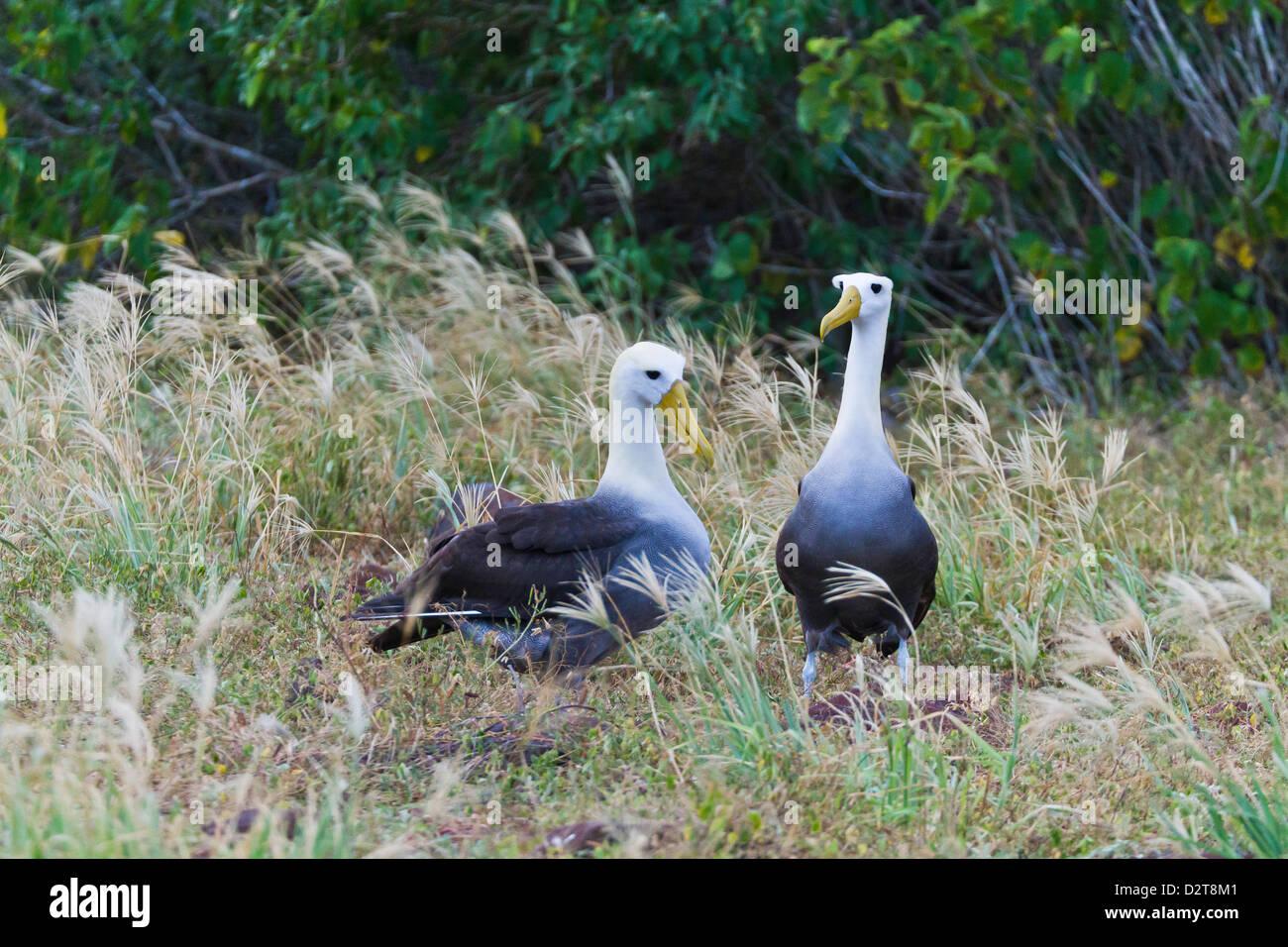 Waved albatross (Diomedea irrorata) courtship display, Espanola Island, Galapagos Islands, Ecuador Stock Photo