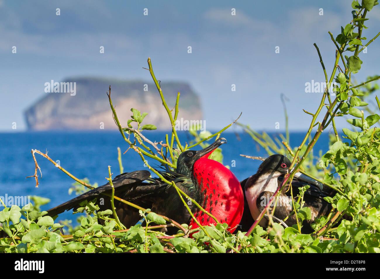 Adult male magnificent frigatebird (Fregata magnificens), North Seymour Island, Galapagos Islands, Ecuador - Stock Image