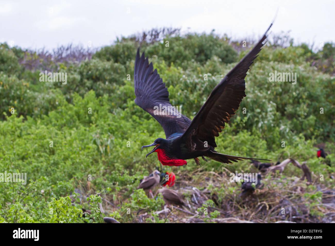 Adult male great frigatebirds (Fregata minor), Genovesa Island, Galapagos Islands, Ecuador - Stock Image