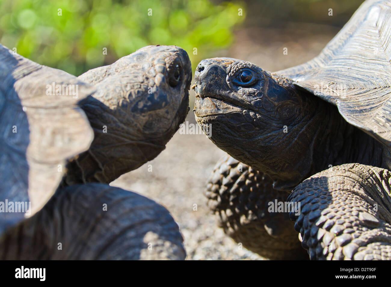 Wild Galapagos tortoise (Geochelone elephantopus), Urbina Bay, Isabela Island, Galapagos Islands, Ecuador - Stock Image