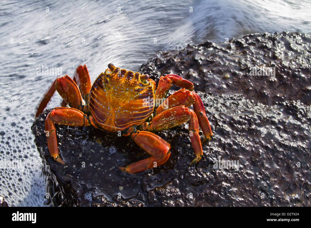 Sally lightfoot crab (Grapsus grapsus), Punta Cormorant, Floreana Island, Galapagos Islands, Ecuador, South America - Stock Image