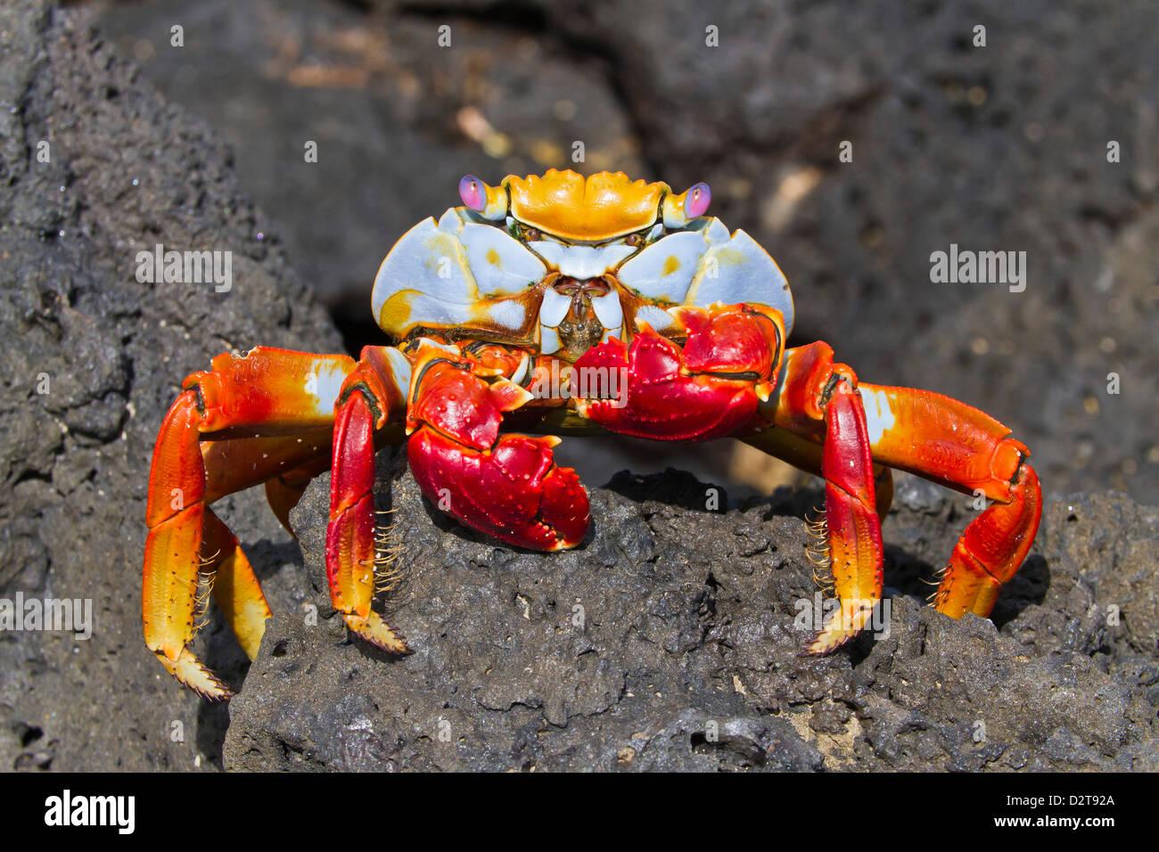Sally lightfoot crab (Grapsus grapsus), Cerro Dragon, Santa Cruz Island, Galapagos Islands, Ecuador, South America - Stock Image