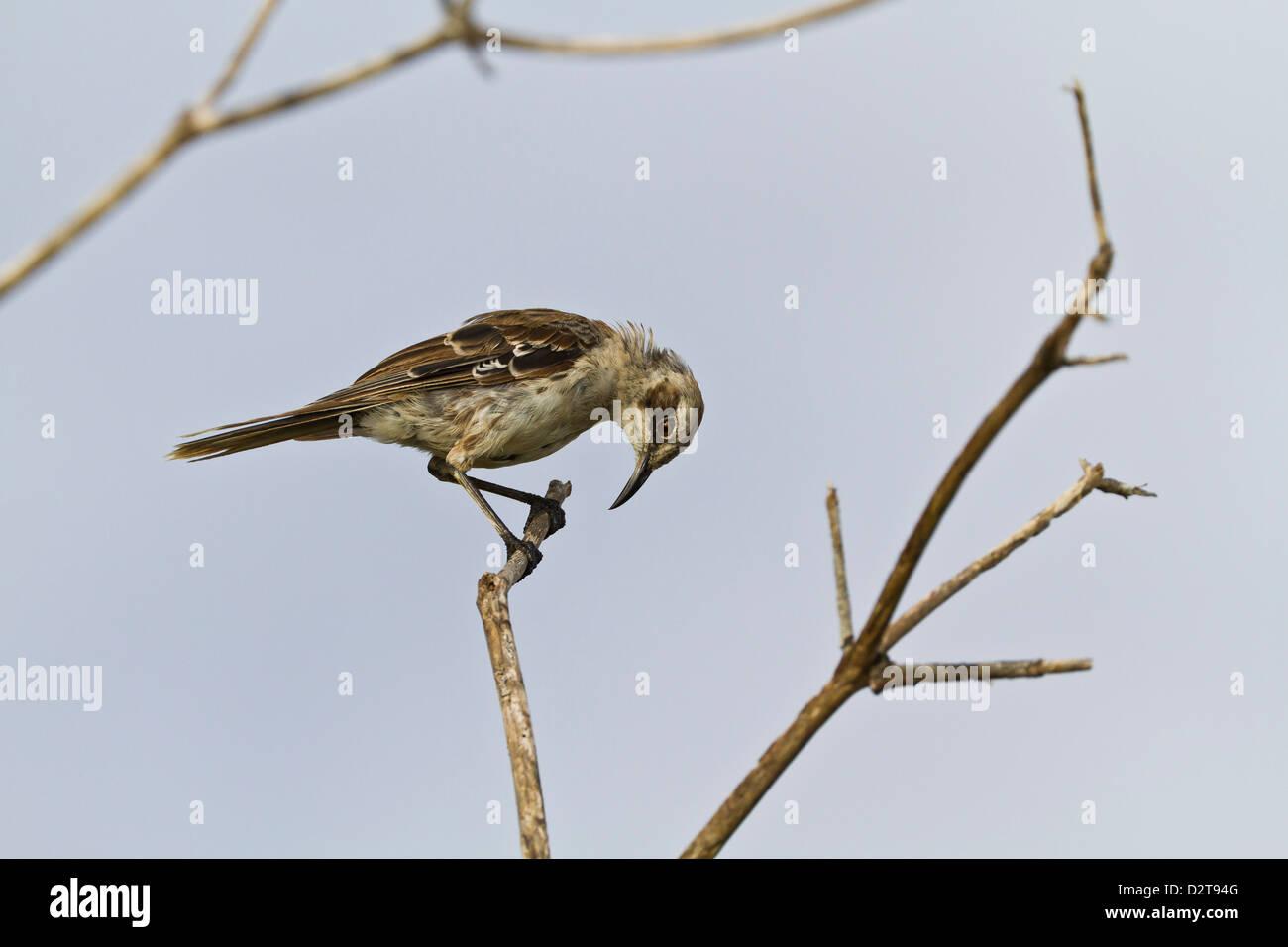 Adult San Cristobal mockingbird, Cerro Bruja, San Cristobal Island, Galapagos Islands, Ecuador Stock Photo