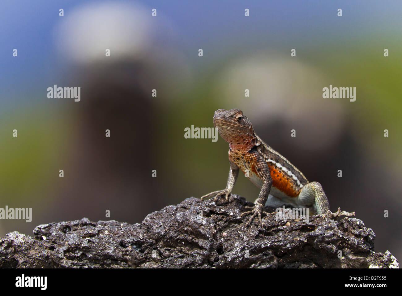 Lava lizard (Microlophus spp), Las Bachas, Santa Cruz Island, Galapagos Islands, Ecuador, South America - Stock Image