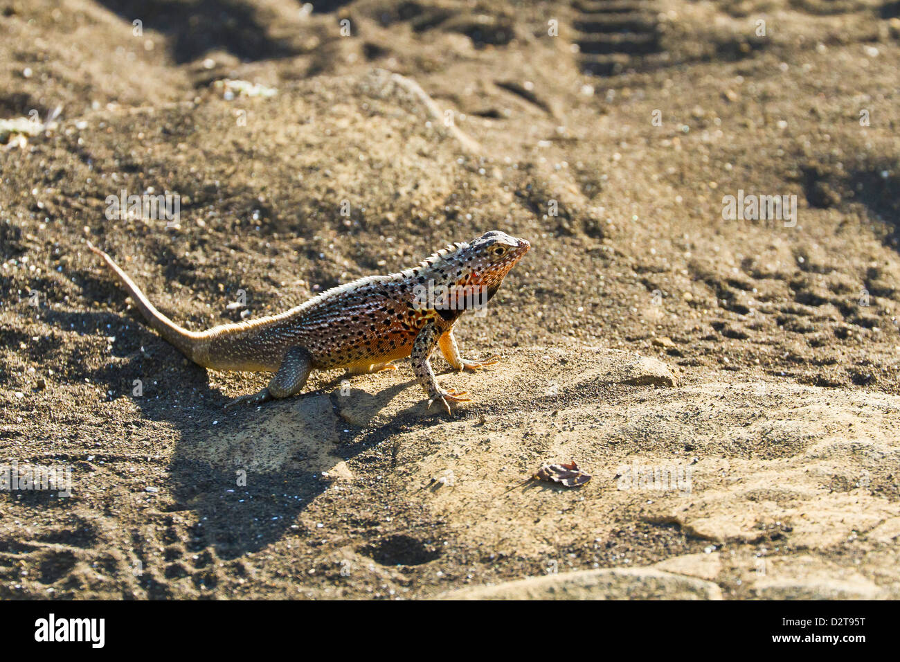Male lava lizard (Microlophus spp), Las Bachas, Santa Cruz Island, Galapagos Islands, Ecuador, South America - Stock Image