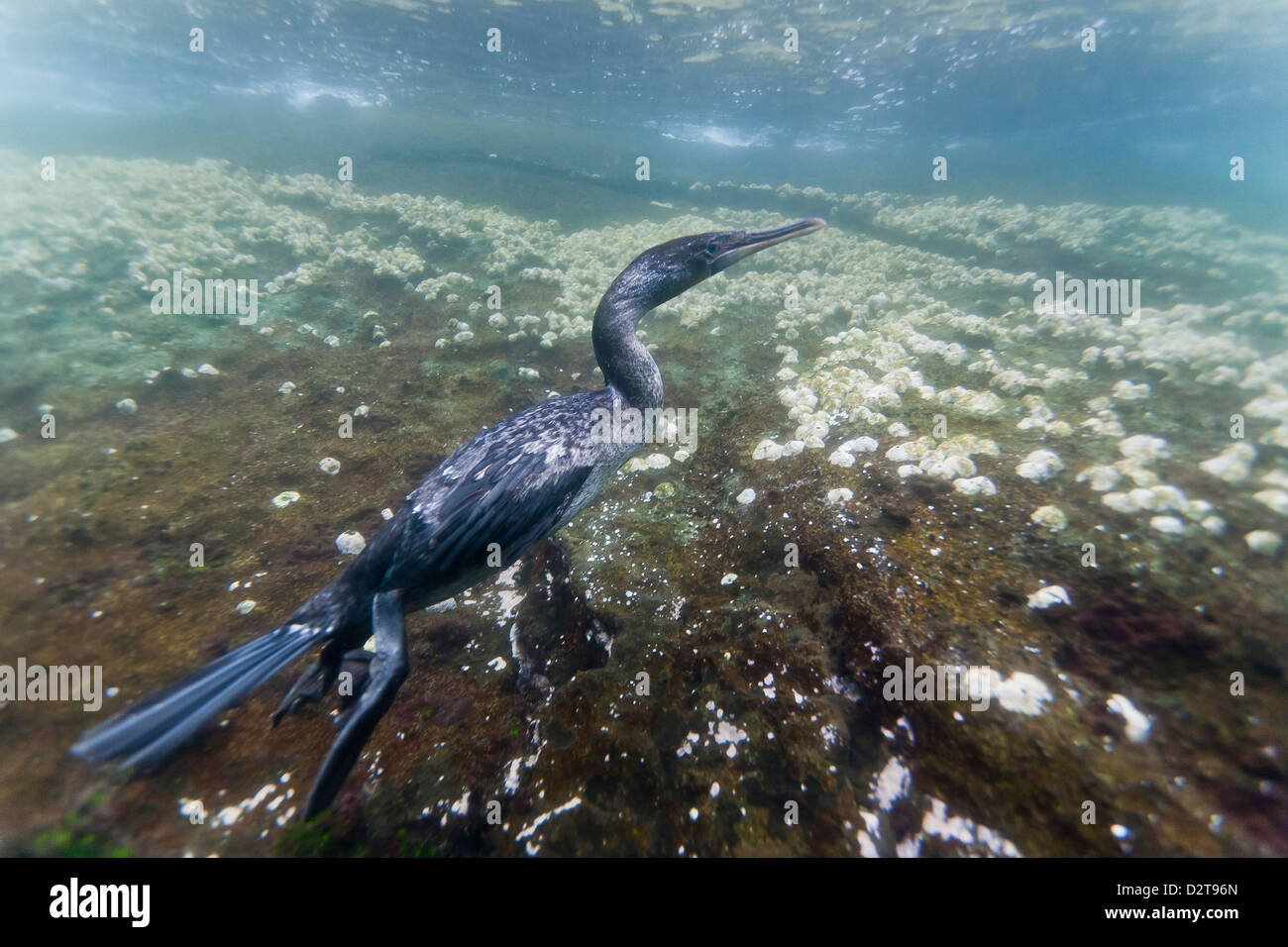 Flightless cormorant (Nannopterum harrisi) hunting underwater, Tagus Cove, Isabela Island, Galapagos Islands, Ecuador Stock Photo
