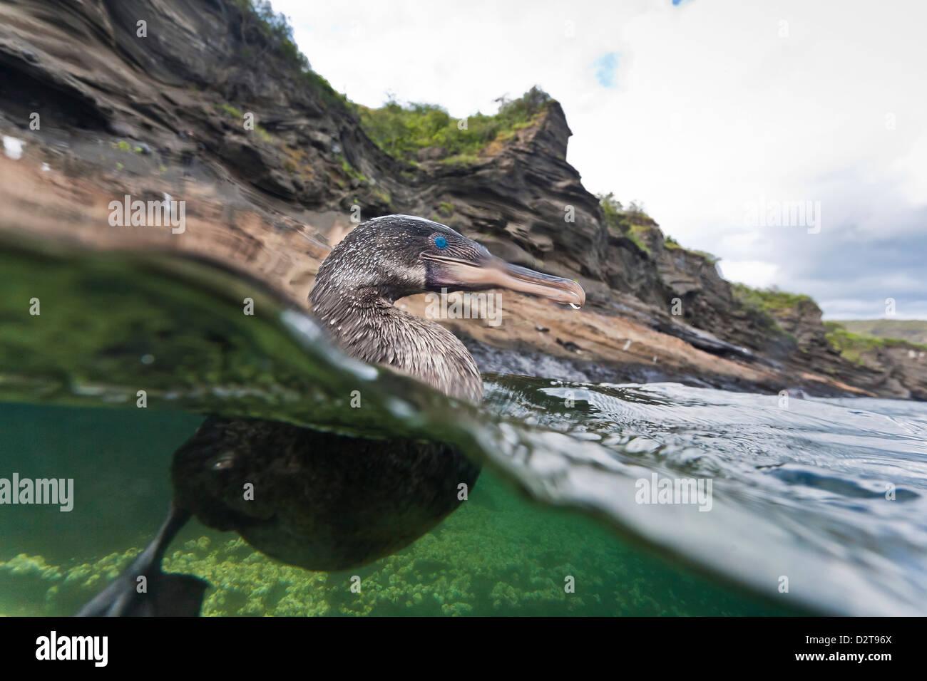 Flightless cormorant (Nannopterum harrisi), Tagus Cove, Isabela Island, Galapagos Islands,UNESCO World Heritage - Stock Image