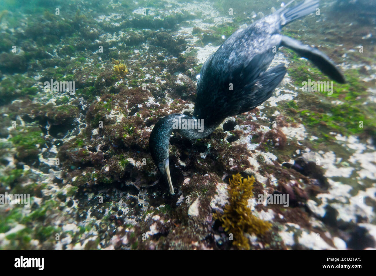 Flightless cormorant (Nannopterum harrisi) hunting underwater, Tagus Cove, Isabela Island, Galapagos Islands, Ecuador - Stock Image
