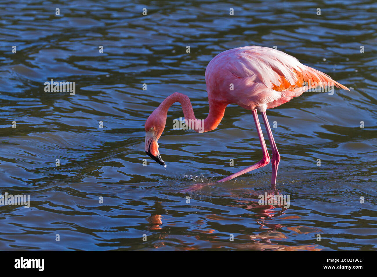 Greater flamingo (Phoenicopterus ruber), Las Bachas, Santa Cruz Island, Galapagos Islands, Ecuador, South America Stock Photo