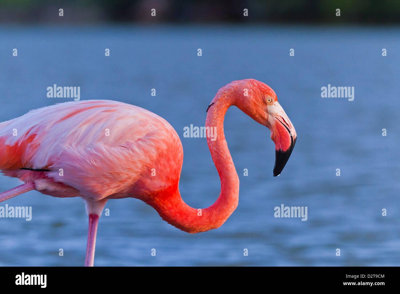 Greater flamingo (Phoenicopterus ruber), Las Bachas, Santa Cruz Island, Galapagos Islands, Ecuador, South America - Stock Image
