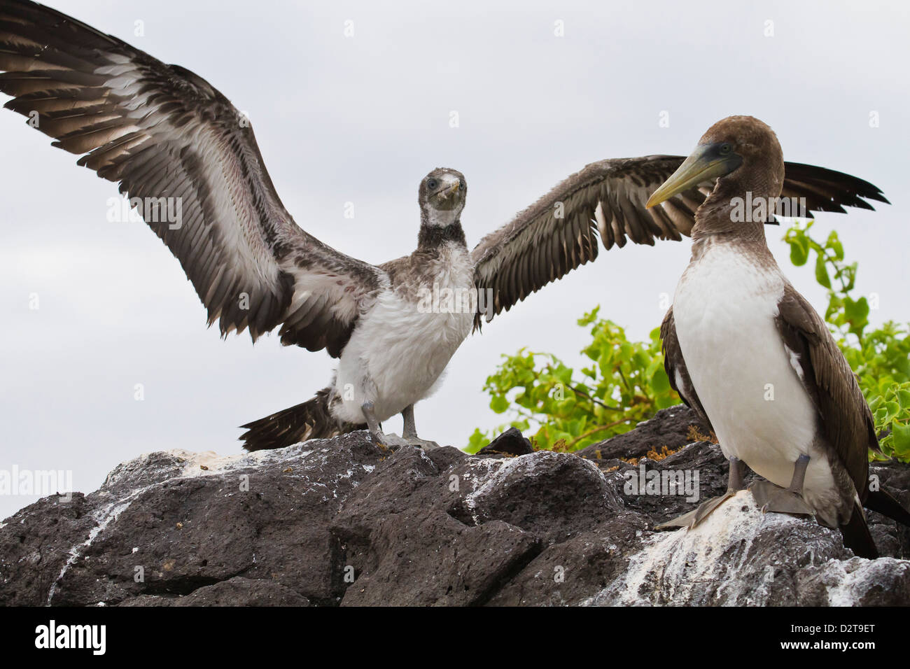 Nazca booby (Sula grantii) chick, Punta Suarez, Santiago Island, Galapagos Islands, Ecuador, South America - Stock Image