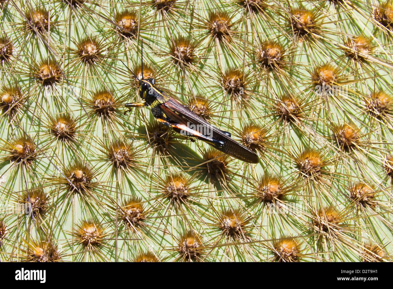 Painted locust (Schistocerca melanocera) on endemic opuntia cactus, Cerro Dragon, Santa Cruz Island, Galapagos Islands, - Stock Image