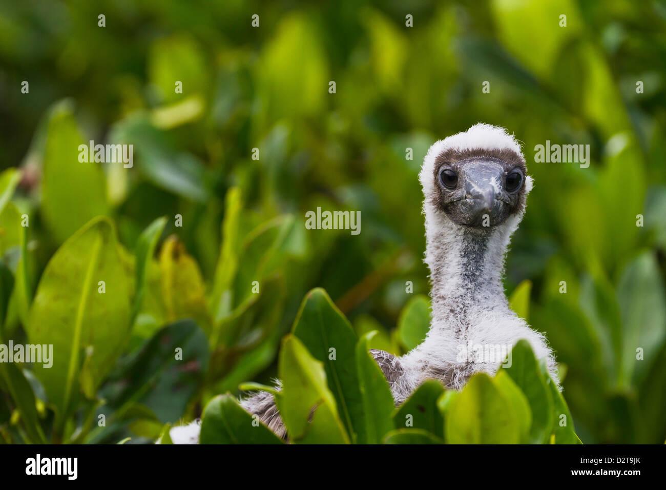 Red-footed booby (Sula sula) chick, Genovesa Island,  Galapagos Islands, Ecuador, South America - Stock Image