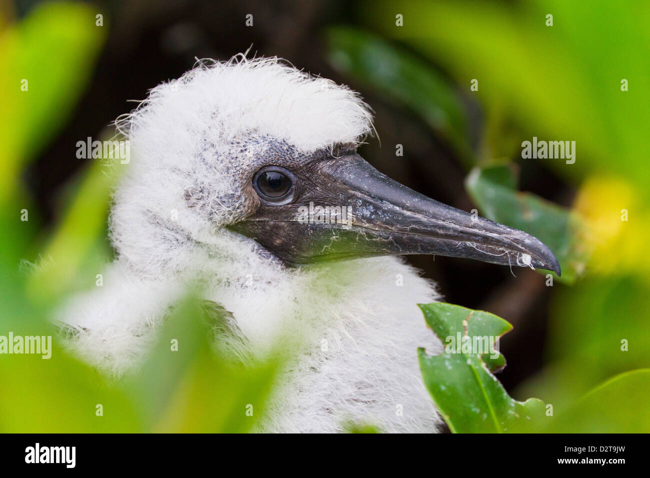 Red-footed booby (Sula sula) chick, Genovesa Island,  Galapagos Islands, Ecuador, South America - Stock Image