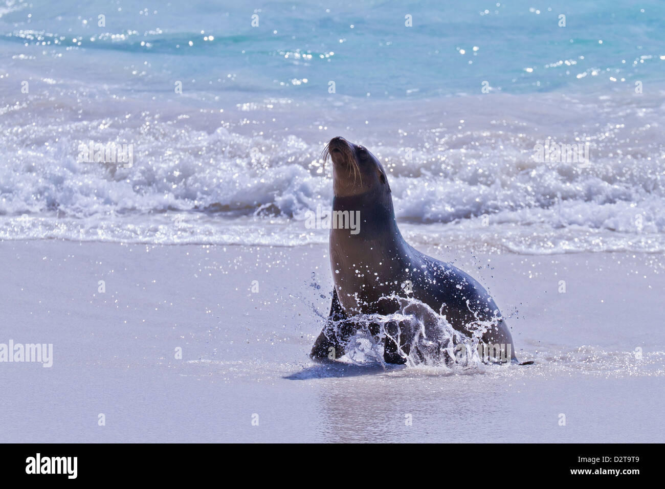 Galapagos sea lion (Zalophus wollebaeki) pup, Gardner Bay, Espanola Island, Galapagos Islands, Ecuador - Stock Image