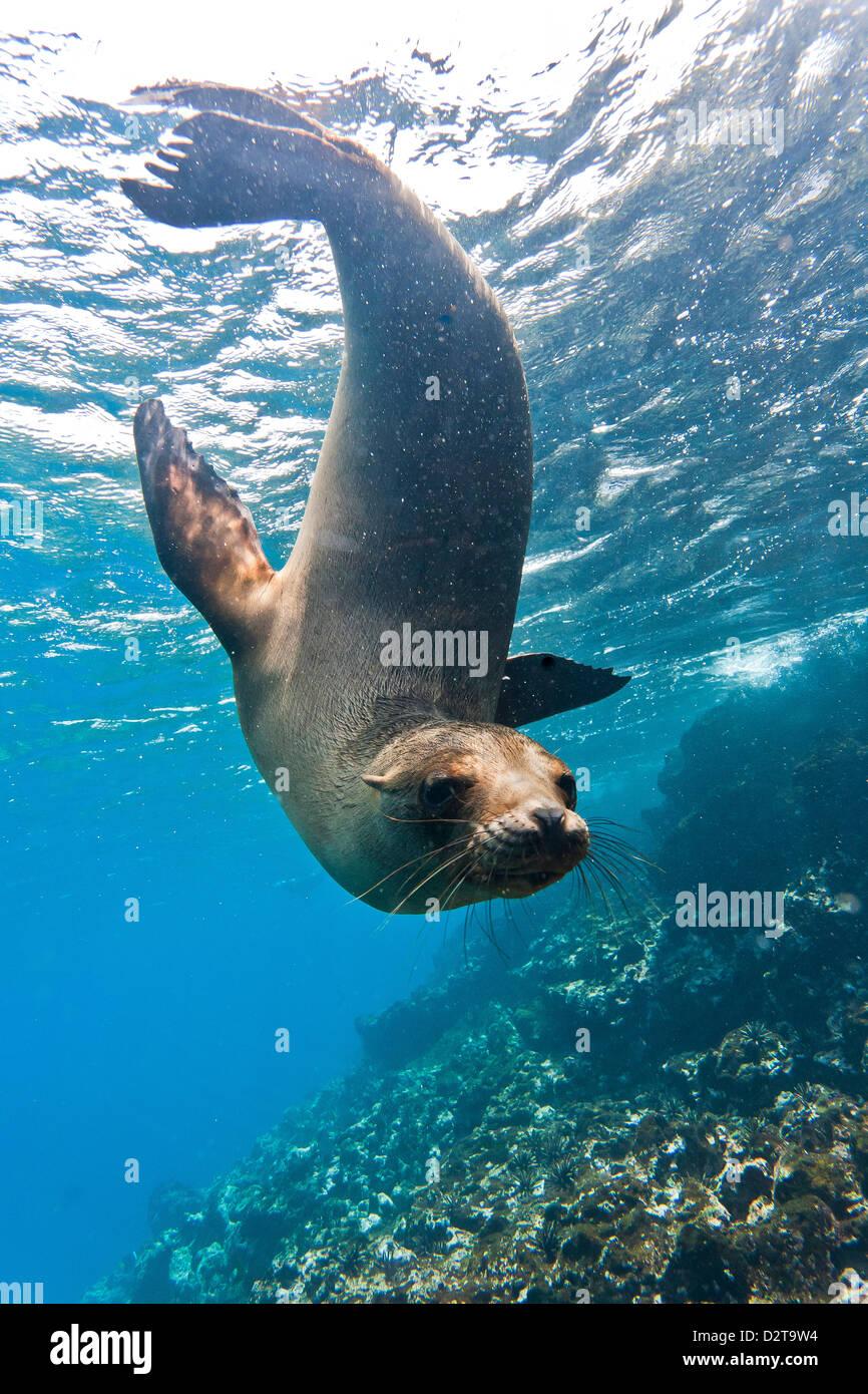 Galapagos sea lion (Zalophus wollebaeki) underwater, Champion Island, Galapagos Islands, Ecuador, South America - Stock Image