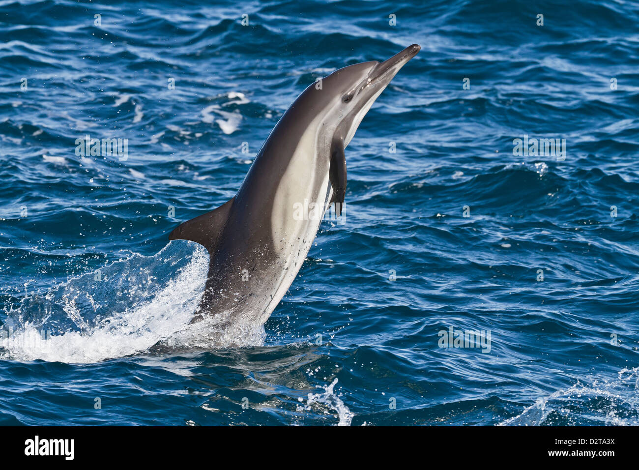 Long-beaked common dolphin (Delphinus capensis), Isla San Esteban, Gulf of California (Sea of Cortez), Baja California, - Stock Image