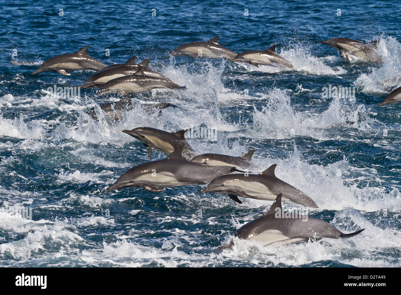Long-beaked common dolphin pod, Isla San Esteban, Gulf of California (Sea of Cortez), Baja California, Mexico - Stock Image