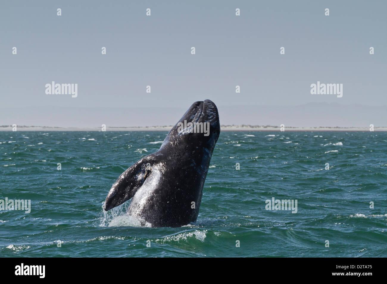California gray whale (Eschrichtius robustus) calf breaching, San Ignacio Lagoon, Baja California Sur, Mexico, North - Stock Image