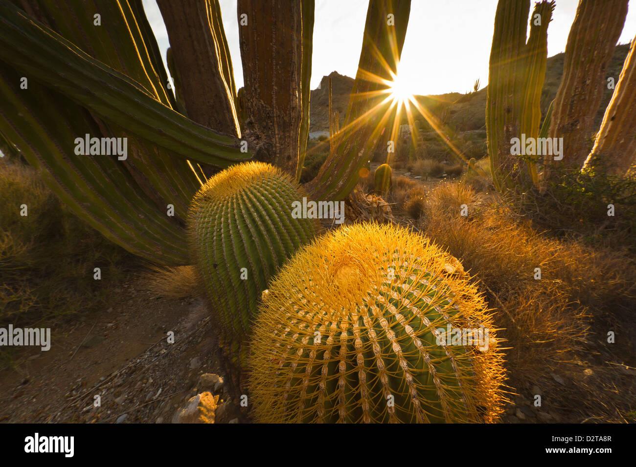 Endemic giant barrel cactus, Isla Santa Catalina, Gulf of California (Sea of Cortez), Baja California Sur, Mexico - Stock Image