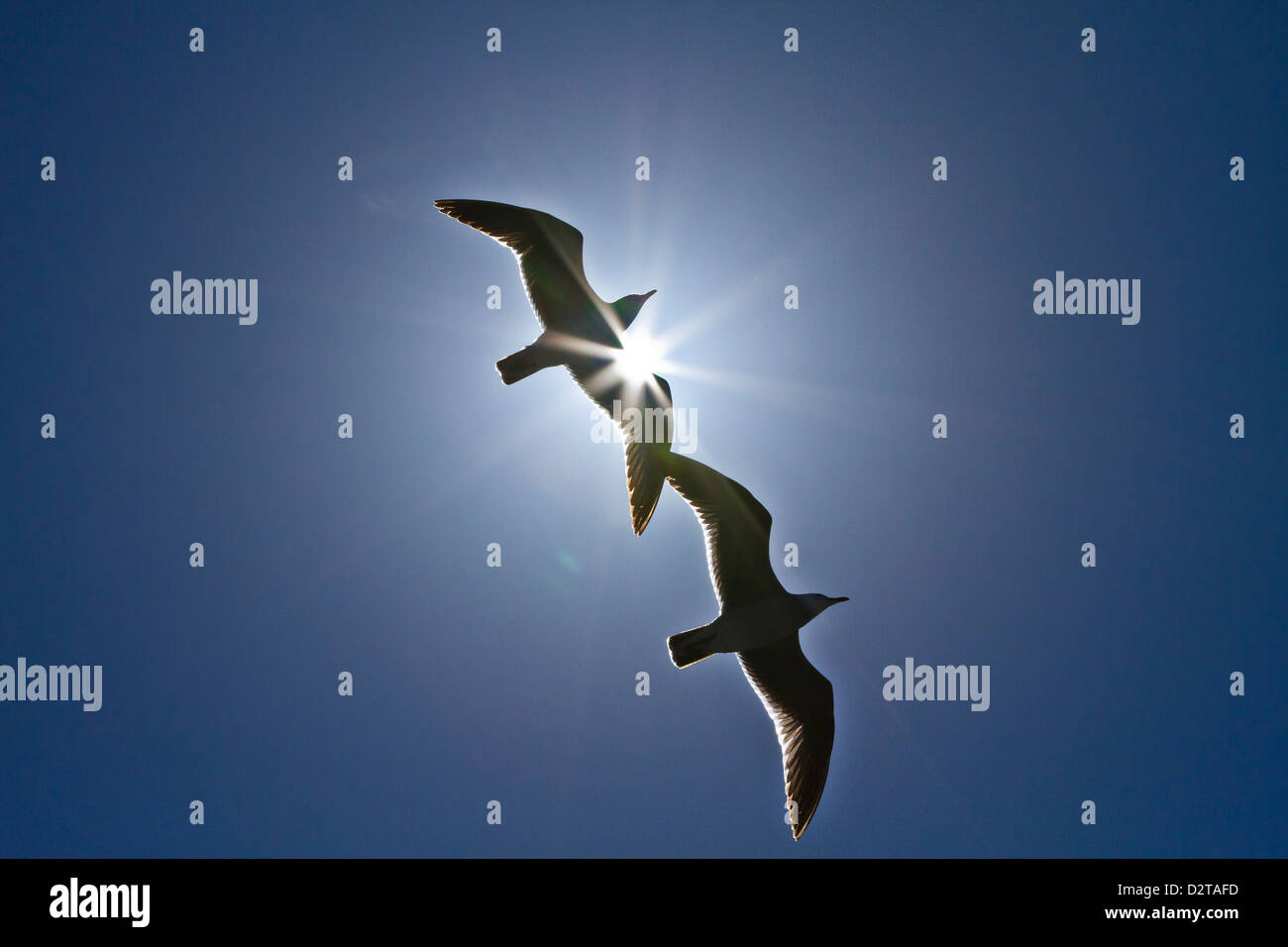 Heermann's gulls (Larus heermanni), Isla Rasa, Gulf of California (Sea of Cortez), Mexico, North America - Stock Image