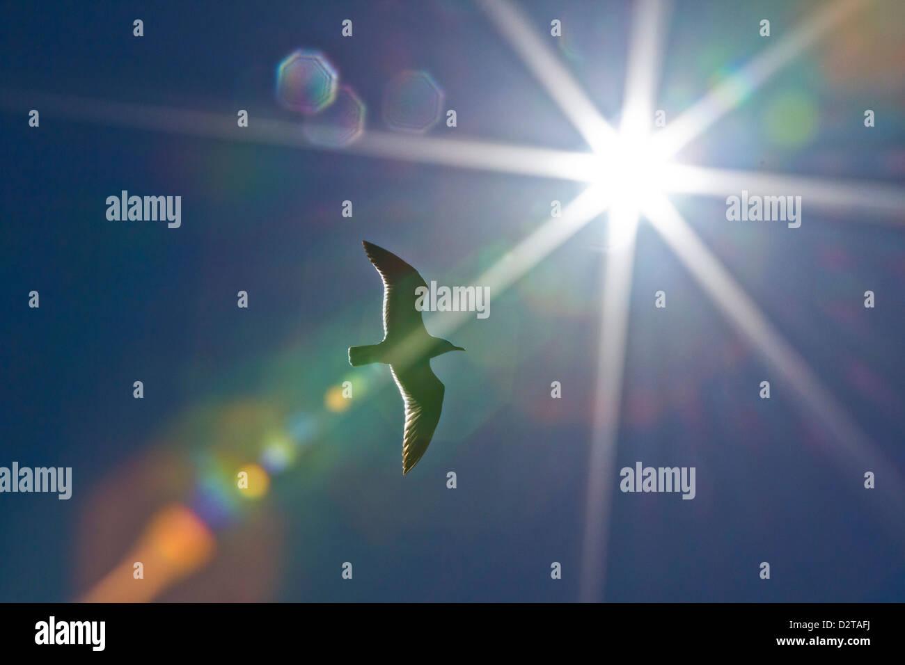 Heermann's gull (Larus heermanni), Isla Rasa, Gulf of California (Sea of Cortez), Mexico, North America - Stock Image