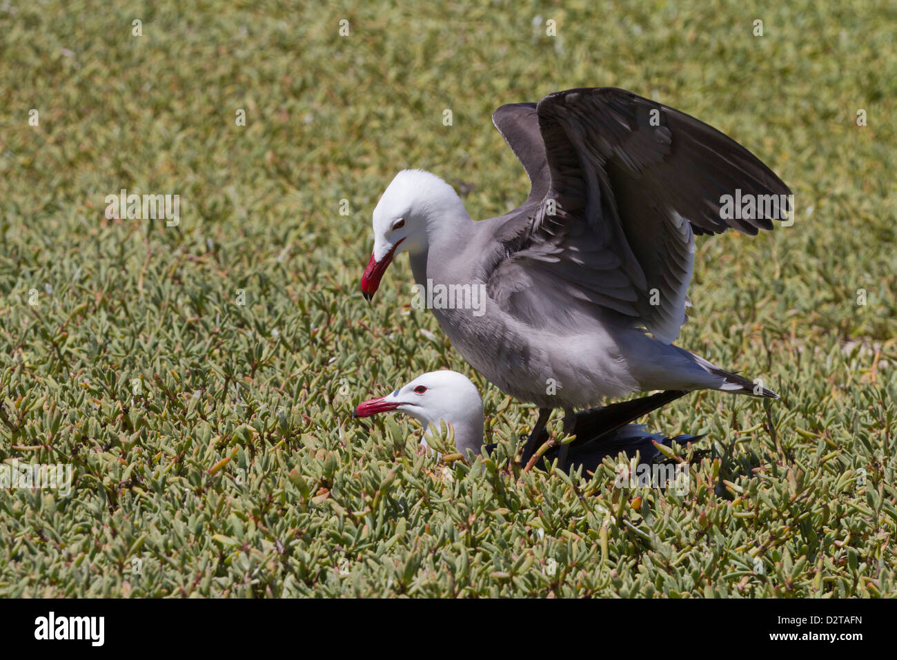 Heermann's gulls (Larus heermanni) mating, Isla Rasa, Gulf of California (Sea of Cortez), Mexico, North America - Stock Image