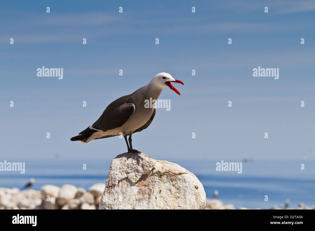 Heermann's gull (Larus heermanni), Isla Rasa, Gulf of California (Sea of Cortez), Mexico, North America - Stock Image