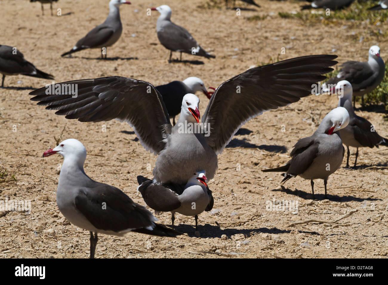 Heermann's gulls (Larus heermanni) mating, Isla Rasa, Gulf of California (Sea of Cortez), Mexico, North America - Stock Image