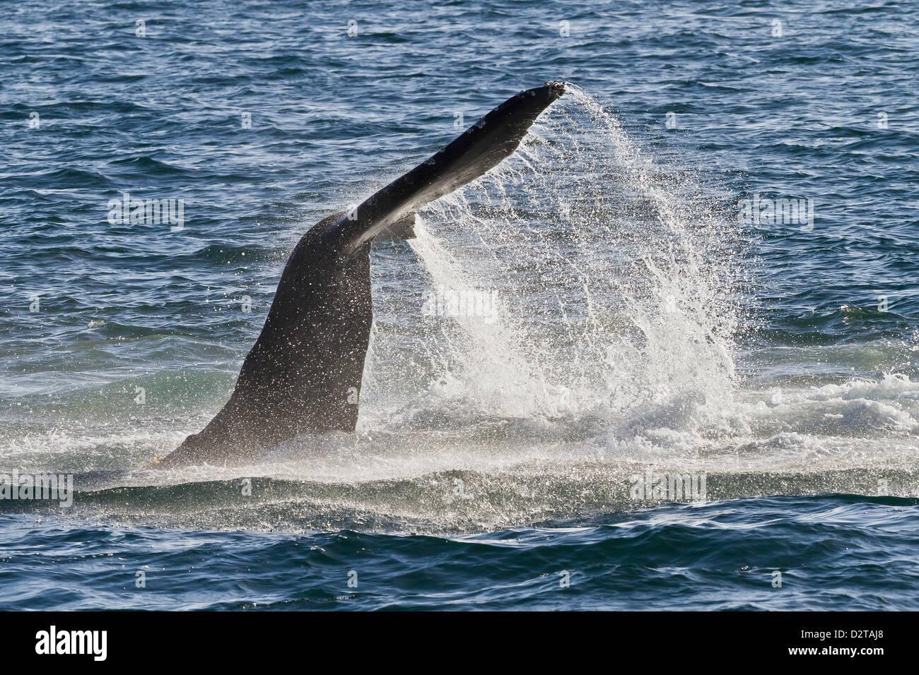 Humpback whale (Megaptera novaeangliae) tail slap, Gulf of California (Sea of Cortez), Baja California Sur, Mexico - Stock Image