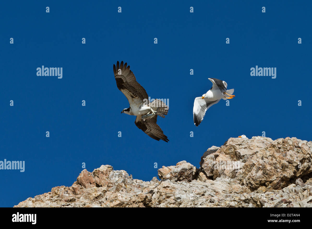 Adult osprey with fish, and yellow-footed gull, Gulf of California (Sea of Cortez) Baja California Sur, Mexico Stock Photo