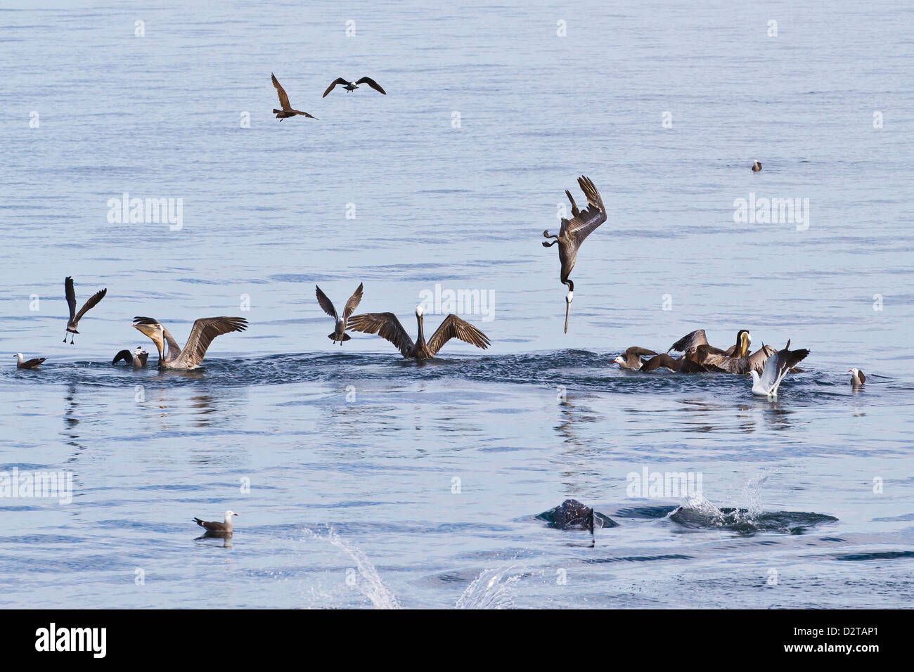 Brown pelicans (Pelecanus occidentalis) plunge-diving, Gulf of California (Sea of Cortez), Baja California, Mexico - Stock Image