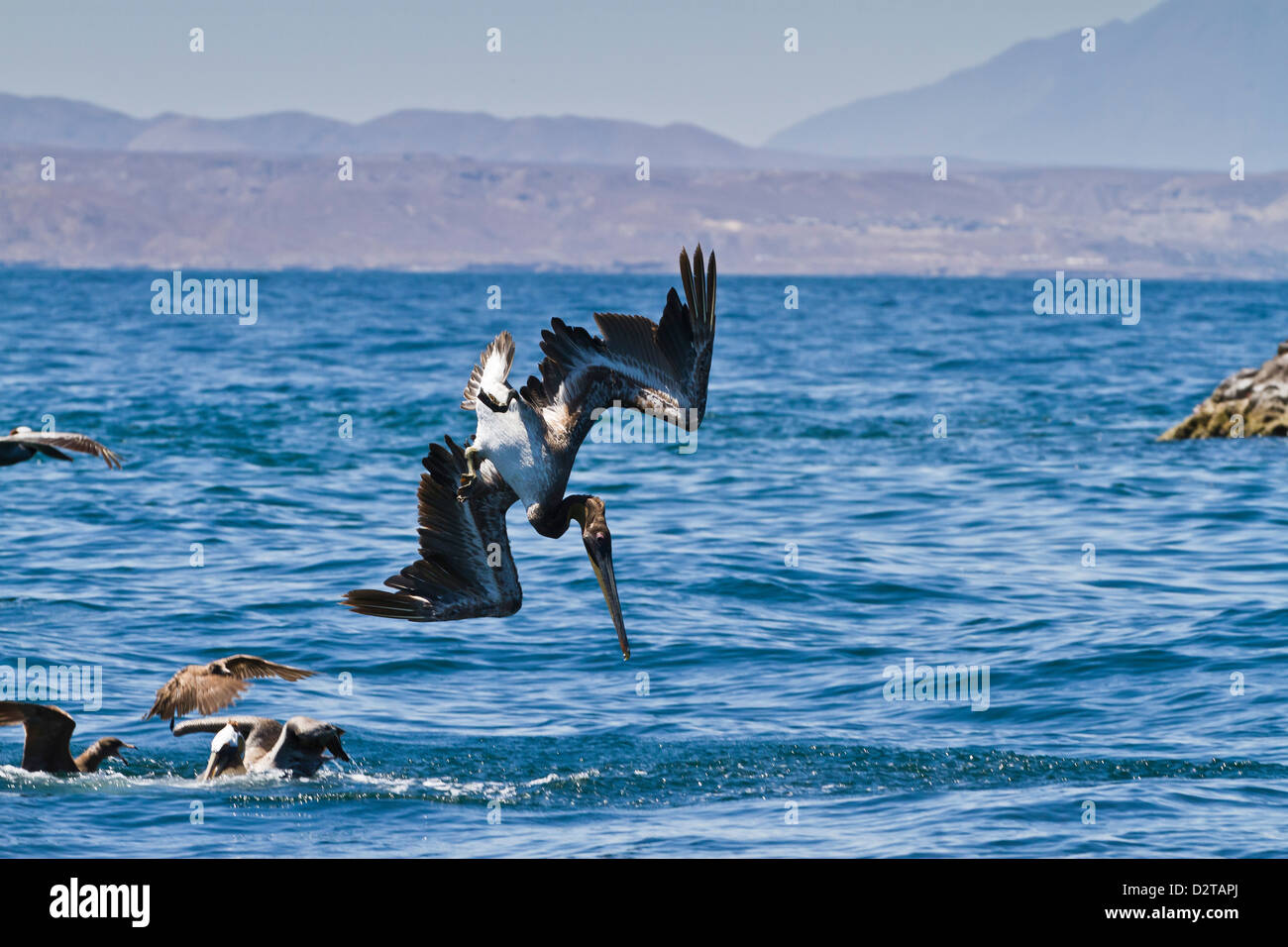 Juvenile brown pelican (Pelecanus occidentalis) plunge-diving, Gulf of California (Sea of Cortez), Baja California, - Stock Image