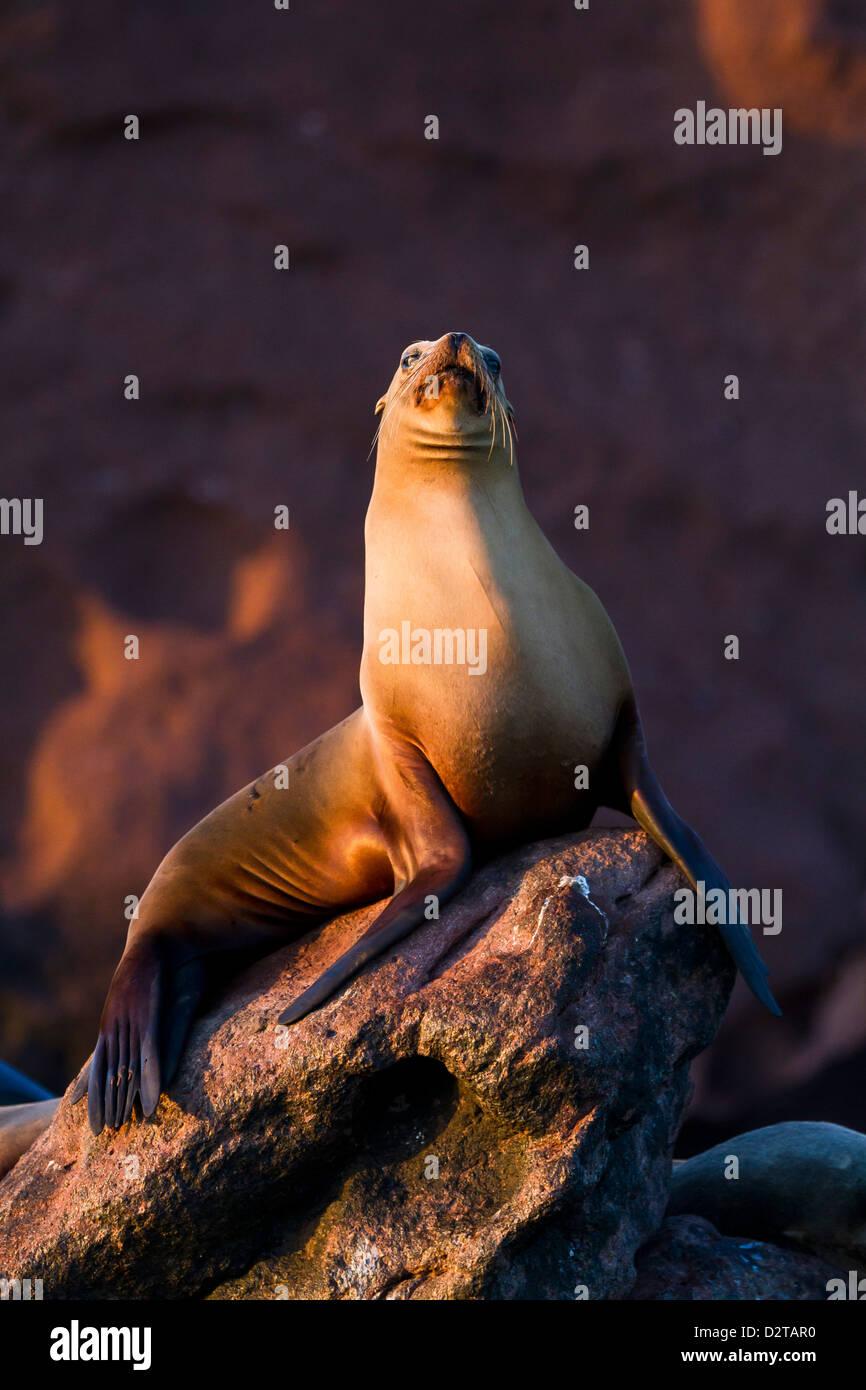 California sea lion (Zalophus californianus), Los Islotes, Baja California Sur, Gulf of California (Sea of Cortez), Stock Photo